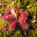 Drosera bulbosa - Photo (c) catherwoods, all rights reserved