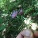 Klasea quinquefolia - Photo (c) tir-na-nogth, todos los derechos reservados