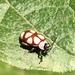 Omophoita magniguttis - Photo (c) Maristela Zamoner, todos los derechos reservados