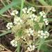 Slim Milkweed - Photo (c) Lynde Lynne Dodd, all rights reserved