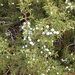 Ashe Juniper - Photo (c) greeneadventures, all rights reserved, uploaded by Greene Adventures