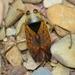 Notonecta maculata - Photo (c) Valter Jacinto, todos los derechos reservados