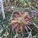 Drosera latifolia - Photo (c) SOLIMARY García Hernández, all rights reserved