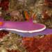 Hypselodoris variobranchia - Photo (c) Terry Gosliner, todos los derechos reservados