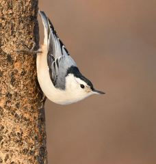 White-breasted Nuthatch - Photo (c) César Andrés Castillo, all rights reserved