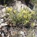 Castilleja tenuiflora xylorrhiza - Photo (c) Mané Salinas Rodríguez, todos los derechos reservados