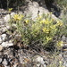 Castilleja tenuiflora xylorrhiza - Photo (c) Mané Salinas Rodríguez, all rights reserved