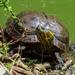 Tortuga de Panza Negra - Photo (c) Lucy Belinello, todos los derechos reservados