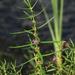 Ammannia coccinea - Photo (c) Jay L. Keller, todos los derechos reservados