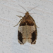 Hydrangea Leaftier Moth - Photo (c) Larry Clarfeld, all rights reserved