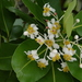 Calophyllum inophyllum - Photo (c) Eric Knight, todos los derechos reservados