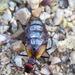 Pseudomeloe sanguinolentus - Photo (c) Patrich Cerpa, כל הזכויות שמורות