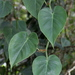 Heart-leaf Philodendron - Photo (c) Jay L. Keller, all rights reserved
