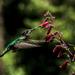 Rivoli's Hummingbird - Photo (c) Saúl Guerrero, all rights reserved
