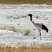 Black-necked Crane - Photo (c) Aditya Soman, all rights reserved
