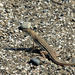 Blanford's Fringe-fingered Lizard - Photo (c) Tamsin Carlisle, some rights reserved (CC BY-NC-SA)