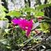 Schlumbergera opuntioides - Photo (c) mannomatutu, todos os direitos reservados