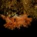 Phidolopora pacifica - Photo (c) Phil Garner, todos los derechos reservados