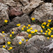 Eranthis - Photo (c) Irfan Ersin AKINCI, all rights reserved, uploaded by ieakinci