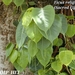 Ficus religiosa - Photo (c) M R Rahman Hps, todos los derechos reservados