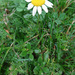 Chamomile - Photo (c) Tig, all rights reserved