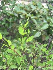 Porophyllum punctatum image