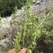 Brickellia laciniata - Photo (c) Miguel González Botello, todos los derechos reservados