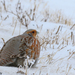 Gray Partridge - Photo (c) Chris McCreedy, all rights reserved