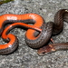 Red-bellied Snake - Photo (c) J.D. Willson, all rights reserved