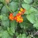 Texas Lantana - Photo (c) Mobi Warren, all rights reserved