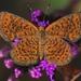 Mariposas Marca de Metal - Photo (c) Danny Goodding, todos los derechos reservados