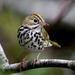 Ovenbird - Photo (c) J.D. Willson, all rights reserved