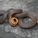 Diadophis punctatus edwardsii - Photo (c) J.D. Willson, todos los derechos reservados