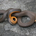 Northern Ringneck Snake - Photo (c) J.D. Willson, all rights reserved