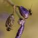 Polymerus chilensis - Photo (c) Patrich Cerpa, todos los derechos reservados