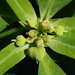 Painted Spurge - Photo (c) Jay L. Keller, all rights reserved