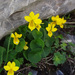 Twoflower Violet - Photo (c) Tig, all rights reserved