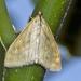 Sitochroa verticalis - Photo (c) Marcello Consolo, todos los derechos reservados