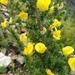 Aspalathus fourcadei - Photo (c) Chris Herselman, todos los derechos reservados