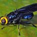 Cyphomyia - Photo (c) gernotkunz, todos los derechos reservados