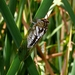 Plains Cicada - Photo (c) Victor Fazio, all rights reserved, uploaded by Victor W Fazio III