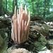 Clavaria fumosa - Photo (c) Cory Clark, todos los derechos reservados