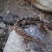 Gecko de Darwin - Photo (c) Rafa Lara, todos los derechos reservados