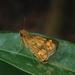 Potanthus mingo - Photo (c) Ahmad Solihin Sira Juddin, all rights reserved