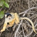 Black-capped Squirrel Monkey - Photo (c) andrespiscitello, all rights reserved