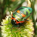 Metallic Shield Bug - Photo (c) Mark Ridgway, all rights reserved