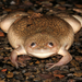 African Clawed Frog - Photo (c) Steve Collins, all rights reserved