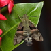 Hummingbird Hawkmoths - Photo (c) Melinda Chan, all rights reserved