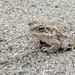 Indus Valley Toad - Photo (c) Ashwin Warudkar, all rights reserved