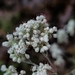 Annual Buckwheat - Photo (c) Kimberlie Sasan, all rights reserved